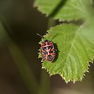 Ornate Shield Bug on Lesvos by Sue Robinson