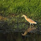 Squacco Heron on Lesvos by Sue Robinson