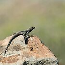 Starred Agama Lizard on Lesvos by Sue Robinson