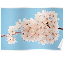 Frothy white blossom Poster