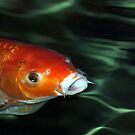 Not So Coy Koi by © Loree McComb