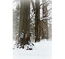 Maple Sugaring Time Photographic Print