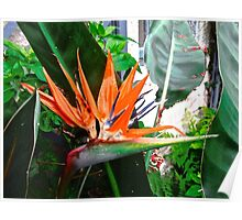 Bird of Paradise Flower Poster