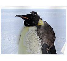 Molting Emperor Penguin Poster