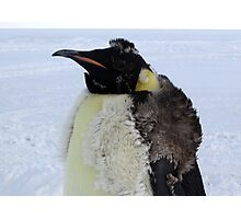 Molting Emperor Penguin Photographic Print