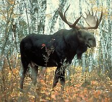 Huge Moose  by BravuraMedia