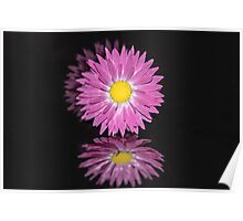 Reflections - Pink Everlasting Flower Poster