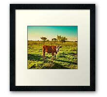 Cow in the field watching the camera Framed Print