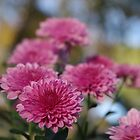 Rosy Chrysanthemum with gold leaves, blue sky by rvjames
