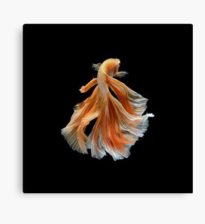 Beautiful Siamese Fighting Fish Canvas Print