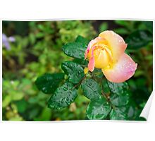 Small autumn rose with droplets Poster