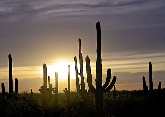 Saguaro Sunset by John Butler