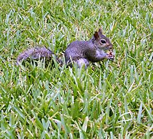 Eastern Grey Squirrel by kfisi