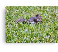Eastern Grey Squirrel Canvas Print