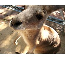 Wallaby Photographic Print