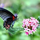 Scarlet Swallowtail (female) by Poete100