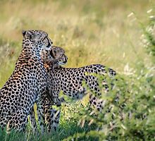 Cheetah Mother and Son by Owed To Nature
