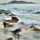 Seagull Wading In The Tidepools At Laguna Beach California by K D Graves Photography