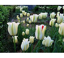 Tulips in the knot garden Photographic Print