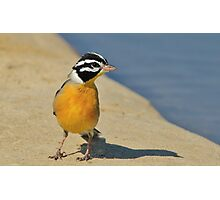 Golden Bunting - African Colorful Wild Birds Photographic Print