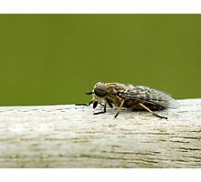 Band Eyed Brown Horse Fly Photographic Print