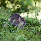 Brown Rat in Countryside by Sue Robinson