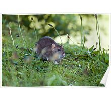 Brown Rat in Countryside Poster