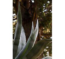 succulent plant Photographic Print