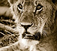 Lioness in Masai Mara, Kenia by Justharry