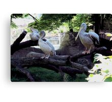 Pelican Roost Canvas Print