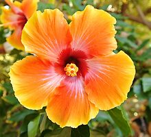 A Stunning Home-Grown Hibiscus Flower by Erik  Coleman