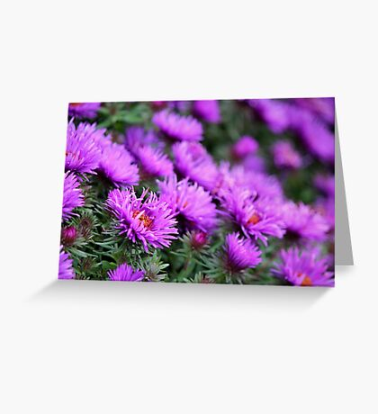 'Purple Dome' Aster - Symphyotrichum novae-angliae Greeting Card