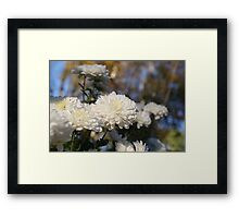 Fluffy flurries of white Chrysanthemum flowers Framed Print