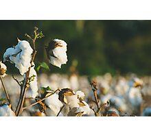 Cotton Field 10 Photographic Print