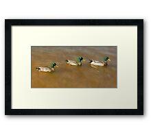 Ducks in Water Framed Print