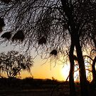 Acacia silhouette  by globeboater