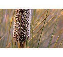 Morialta- Xanthorrhoea Flower Photographic Print