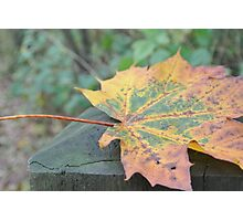 Colorful Maple Leaf on Wood Photographic Print
