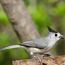 Black Crested Titmouse by Dennis Cheeseman