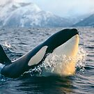 Orca - Tysfjord, Norway by Jonathan Ball