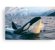 Orca - Tysfjord, Norway Canvas Print