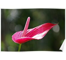 Pristine - Rose Red Anthurium Lily Poster