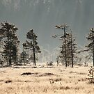 20.6.2016: Pine Trees at Cold Morning II by Petri Volanen