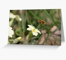 Large Bee-fly (Bombylius major) on Primrose Greeting Card