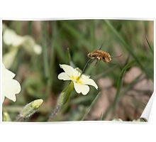Large Bee-fly (Bombylius major) on Primrose Poster