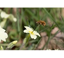 Large Bee-fly (Bombylius major) on Primrose Photographic Print
