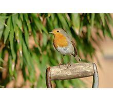 European Robin (Erithacus rubecula) on garden spade Photographic Print