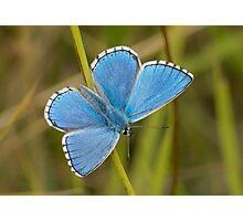 Male Adonis Blue butterfly (Polyommatus / Lysandra bellargus) Photographic Print