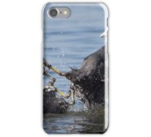 Eurasian Coot birds (Fulica atra) fighting for territory iPhone Case/Skin