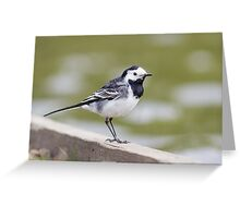 Pied Wagtail  (Motacilla alba) by the edge of a lake Greeting Card